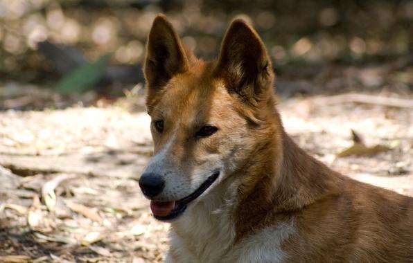 Picture shadow, Dingo, wild dog