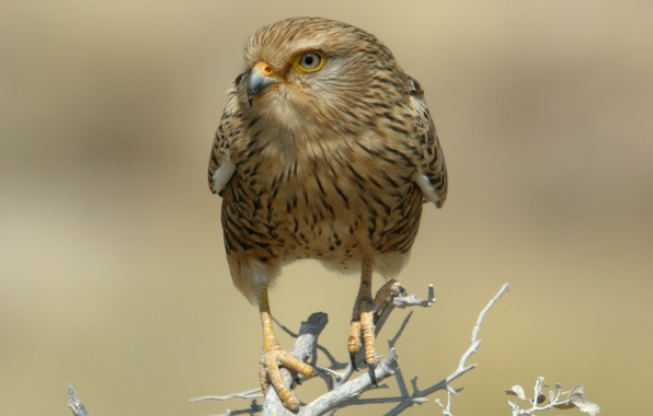 Picture bird, predator, branch, Falcon, Namibia, dry, national Park