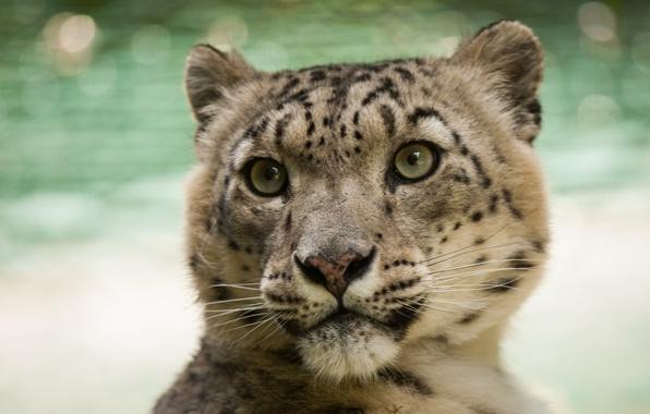 Picture cat, look, face, IRBIS, snow leopard