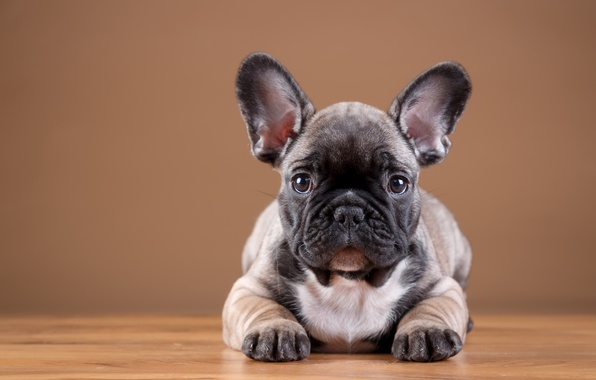 Picture puppy, bulldog, French