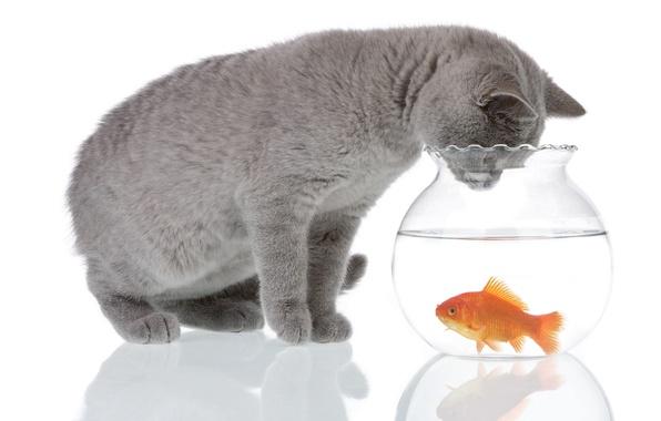 Picture cat, water, reflection, grey, animal, aquarium, fish, white background, curiosity