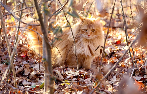 Picture cat, leaves, light, branches, fluffy, red, dry, solar