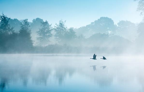 Picture autumn, birds, fog, lake, morning, Netherlands, swans, geese, September