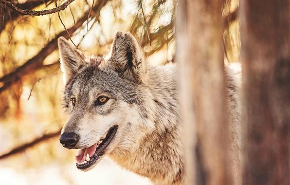 Picture forest, animals, wolf, predator