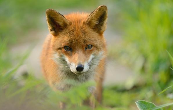 Picture predator, Fox, red