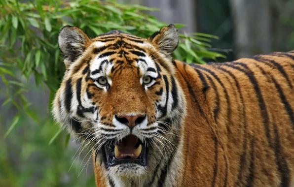 Picture cat, look, face, tiger, Amur