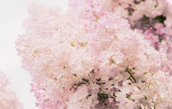 Photo wallpaper macro, flowers, pink, tenderness, spring, Lilac
