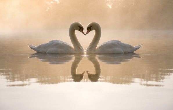 Picture water, love, fog, pond, heart, the evening, pair, swans, reflections