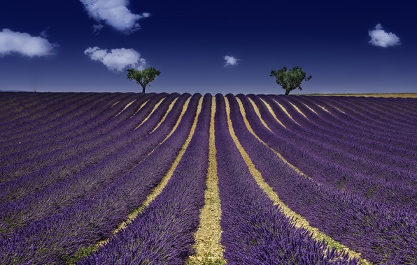 Picture field, summer, lavender