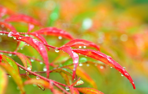 Picture autumn, leaves, water, drops, macro, branch