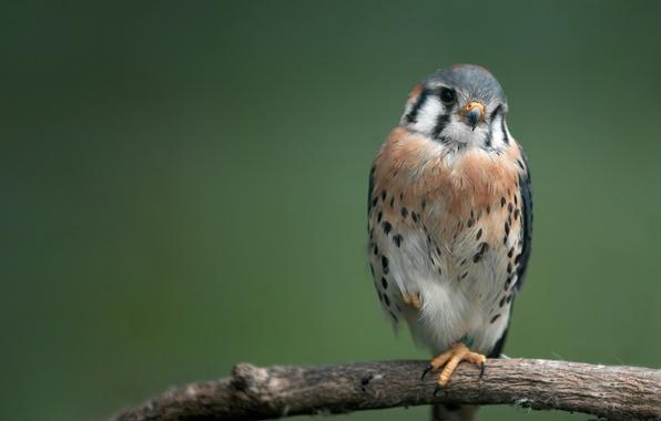 Picture bird, predator, branch, bird, hawk, 1920x1080, branch, hawk