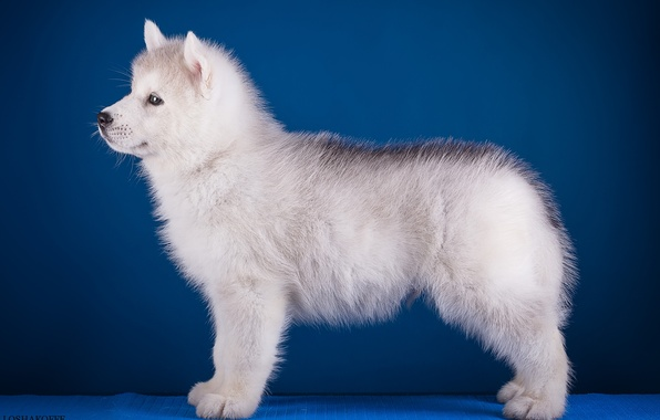 Photo wallpaper husky, puppy, profile, breed