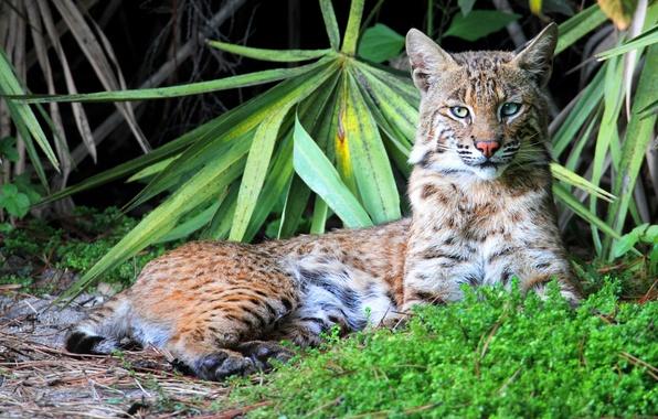 Picture grass, leaves, predator, lies, lynx, looks