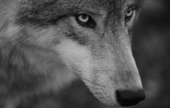 Picture look, face, wolf, portrait, predator