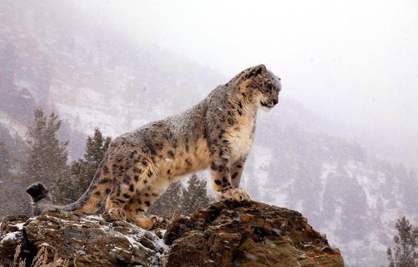 Picture mountains, rock, IRBIS, snow leopard, is, Blizzard, looks