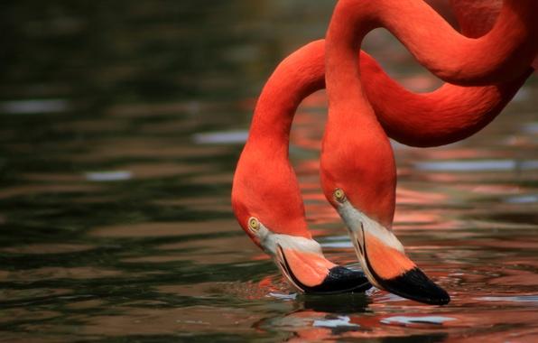 Picture water, birds, Duo, Flamingo, neck