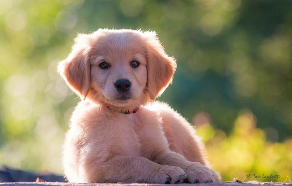 Picture look, dog, puppy, Golden Retriever, Golden Retriever
