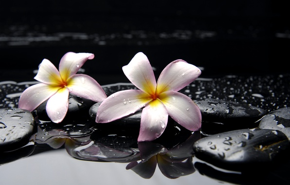 Picture water, drops, flowers, stones, yellow, pink, black, plumeria