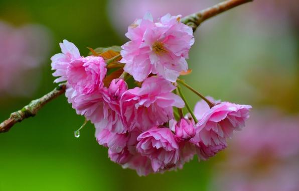 Picture macro, cherry, branch, Sakura, flowering, flowers, bokeh