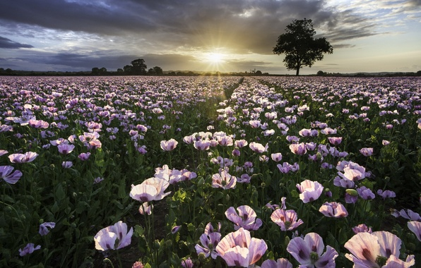Picture field, sunset, nature, Maki