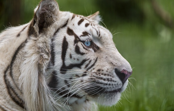 Picture cat, look, face, blue eyes, white tiger, ©Tambako The Jaguar