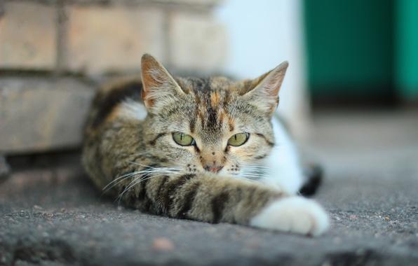 Picture cat, Koshak, Tomcat, foot