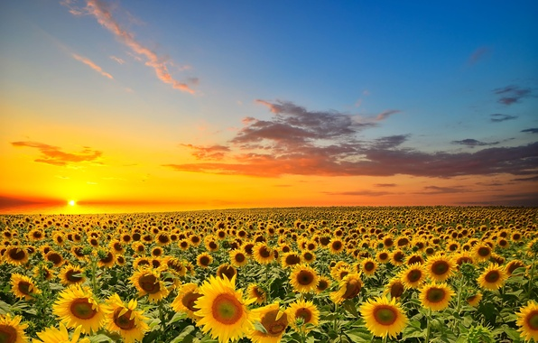 Picture field, the sun, sunflowers, sunset, orange, yellow, cloud
