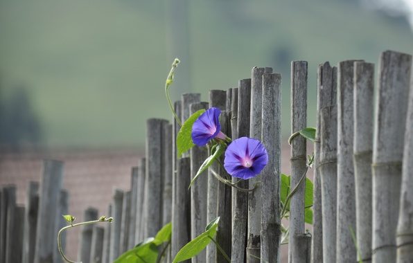 Picture flowers, the fence, bokeh, bindweed