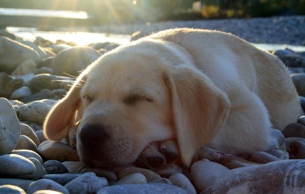 Picture light, stones, sleeping, cute, puppy, Labrador