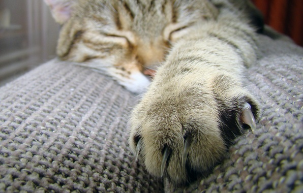 Picture cat, cat, macro, paw, wool, sleeping, claws, claw