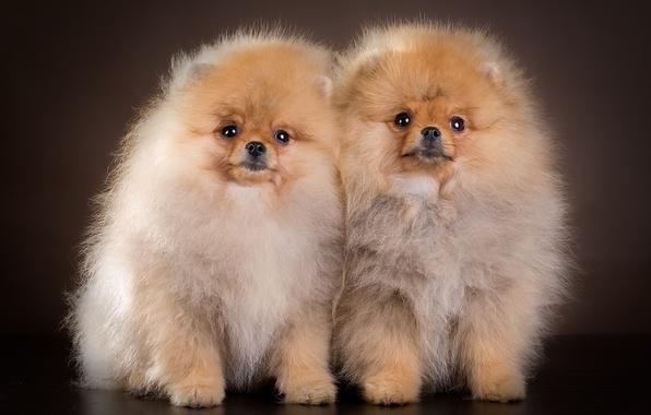 Picture puppies, pair, Spitz