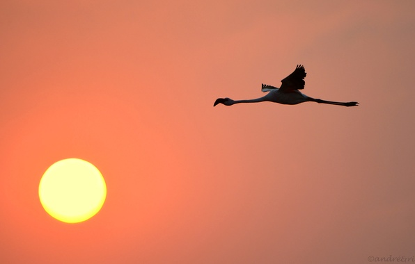 Picture the sky, the sun, sunset, bird, Flamingo