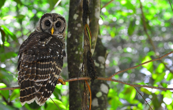 Picture forest, leaves, trees, owl, bird