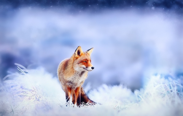 Picture winter, frost, snow, Fox, Fox