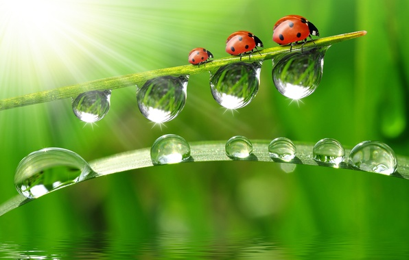 Picture water, drops, macro, reflection, ladybugs, a blade of grass