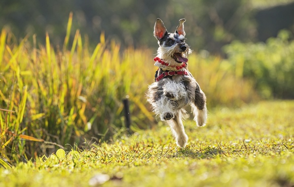 Picture joy, mood, dog, running, walk, The miniature Schnauzer, dwarf Schnauzer