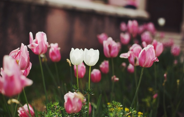 Photo wallpaper flowers, pink, white, tulips