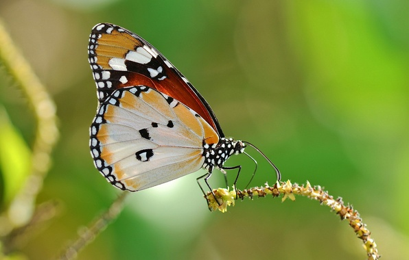 Picture background, butterfly, plant