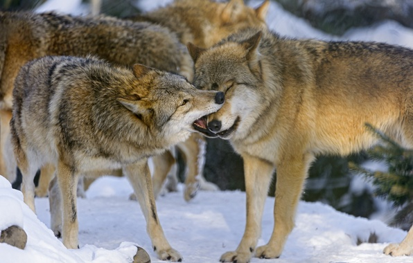Picture winter, snow, the game, pack, pair, wolves, ©Tambako The Jaguar
