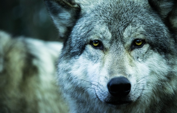 Photo wallpaper wolf, animal, predator, wolf, look