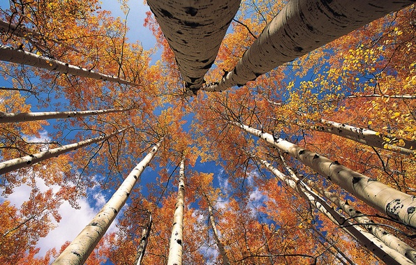 Picture autumn, the sky, leaves, trees, trunk, crown, aspen