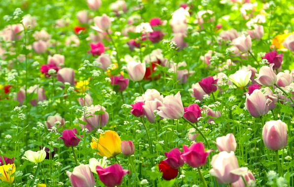 Picture field, flowers, nature, plants, spring, Tulips