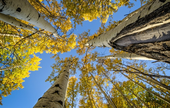 Picture autumn, the sky, leaves, trees, branches, trunk, aspen