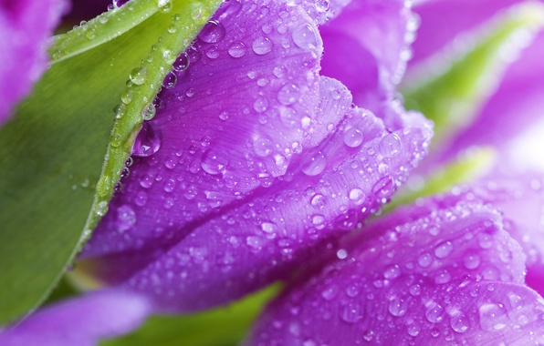 Picture leaves, flowers, Rosa, beauty, petals, purple, tulips, flowers, beauty, violet, Tulips