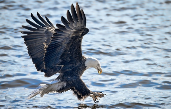 Picture flight, attack, fishing, wings, bald eagle, bird of prey