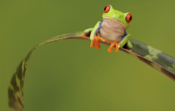 Picture eyes, sheet, plant, frog