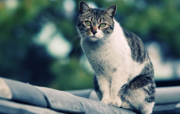 Picture cat, looks, on the roof