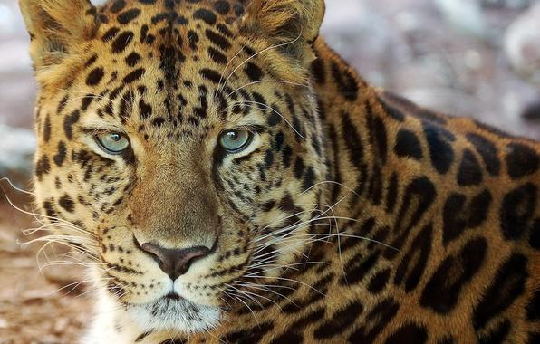 Picture mustache, face, portrait, leopard, lies, looks