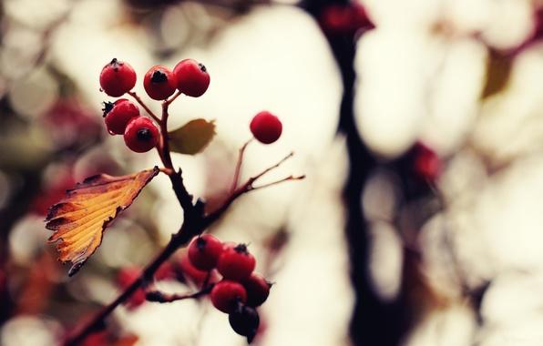 Picture autumn, color, macro, nature, berries, photo, background, Wallpaper, treatment, picture, plants. branch