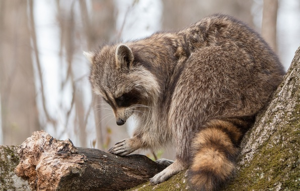 Picture tree, raccoon, log